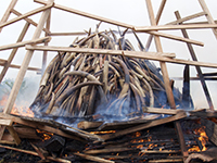 Illegal ivory is burned in Gabon