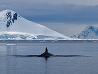 A minke whale in the antarctica. (Photo: flickr, ravas51, https://bit.ly/2Hp8csI, CC BY-SA 2.0)